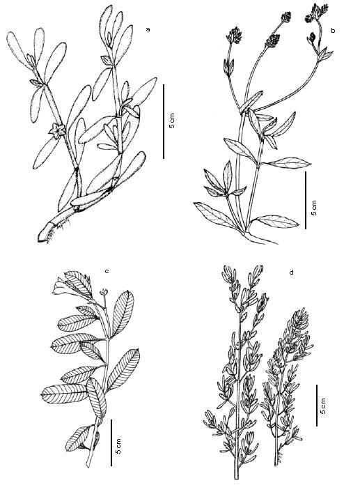 Plantas Vasculares De Los Manglares Del Estado Sucre Venezuela