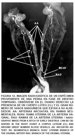 Irrigación Arterial y Venosa del Útero y los Ovarios de la Perra ...