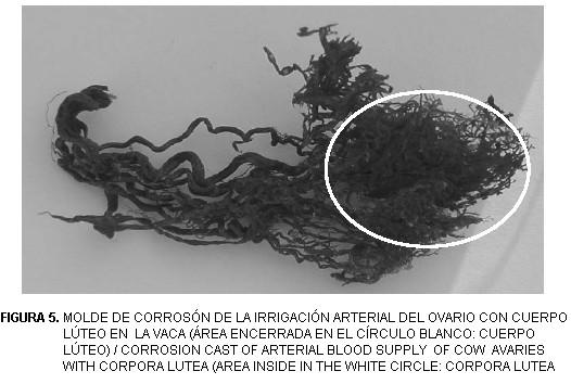 Irrigación arterial del ovario en la oveja y la vaca durante el ...